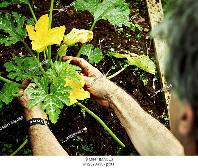 A gardener working in a vegetable plot, bending to pick courgettes with yellow flowers