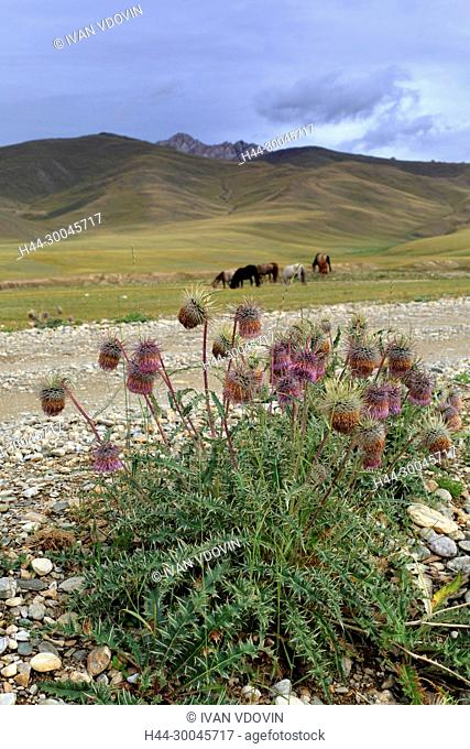 Carduus crispus (welted thistle), Naryn oblast, Kyrgyzstan