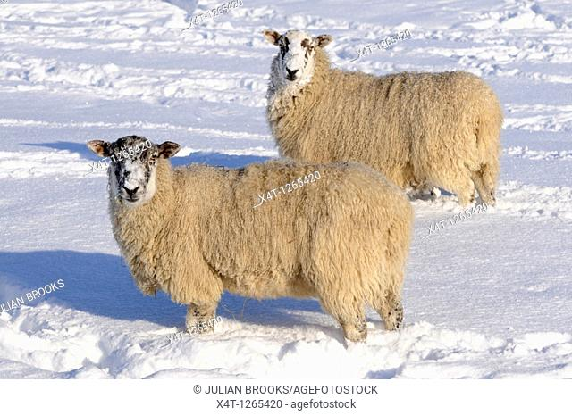 sheep in the snow  Oxfordshire, UK