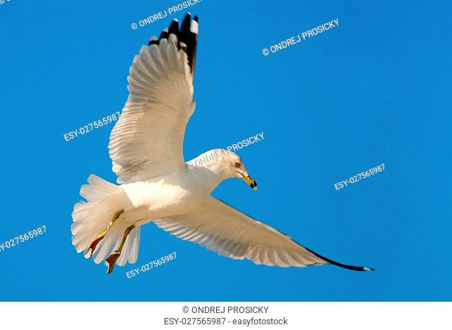 Bird in fly with blue sky. Ring-billed Gull, Larus delawarensis