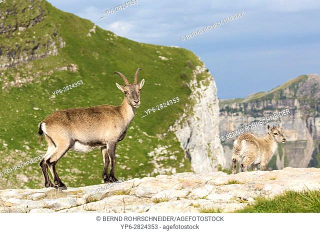 Alpine Ibex (Capra ibex), adult female with young standing on rock, Niederhorn, Bernese Oberland, Switzerland