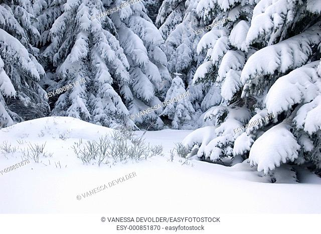 Pine trees covered with snow  Location: France, Vosges