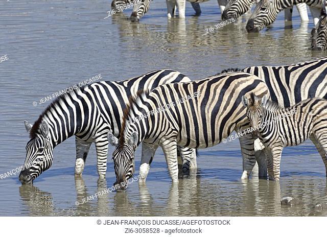 Herd of Burchell's zebras (Equus quagga burchellii) with zebra foal, standing in water, drinking, Okaukuejo waterhole, Etosha National Park, Namibia, Africa