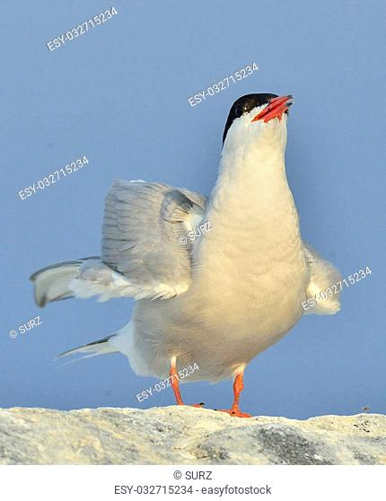 Close up The Common Tern (Sterna hirundo) on natural blue sky background./ The Common Tern (Sterna hirundo) is a seabird of the tern family Sternidae