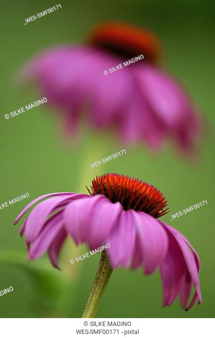 Eastern purple coneflower, echinacea purpurea, close-up