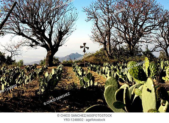 Nopal Fields near Tlayacapan, Mexico, February 5, 2008