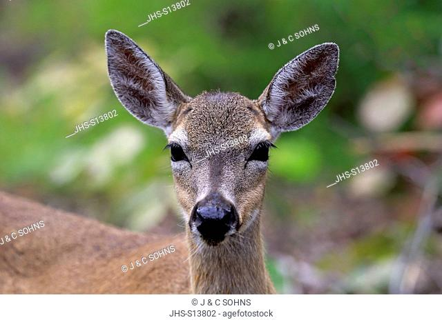 Key Deer, (Odocoileus virginianus clavium), National Key Deer Refuge, Florida, North America, USA, adult female portrait