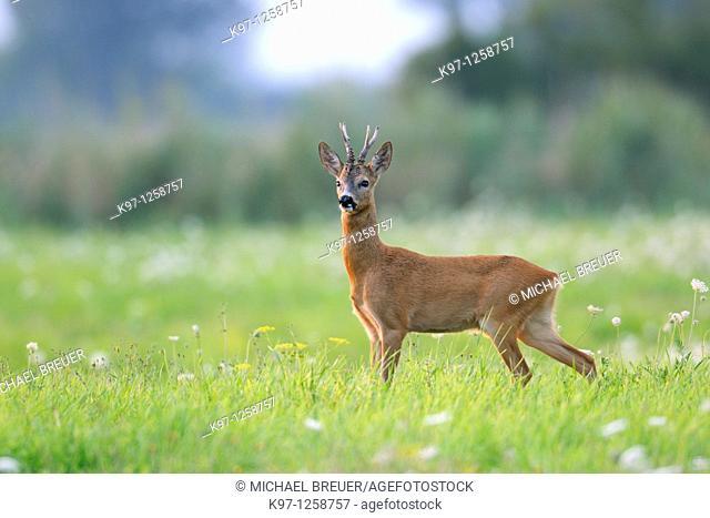 Roe buck (Capreolus capreolus) on meadow, Summer, Germany, Europe