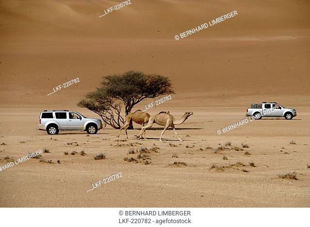 All-terrain vehicles and dromedaries in the sand of the desert, Wahiba Sands, Oman, Asia