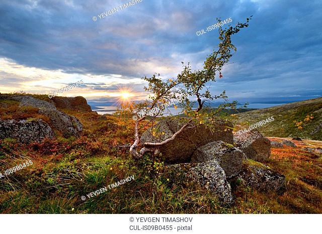 Twisted tree and distant Lake Imandra, Khibiny mountains, Kola Peninsula, Russia