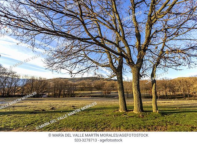 Oaks on the Zorreras meadows in winter time. Avila. Spain. Europe