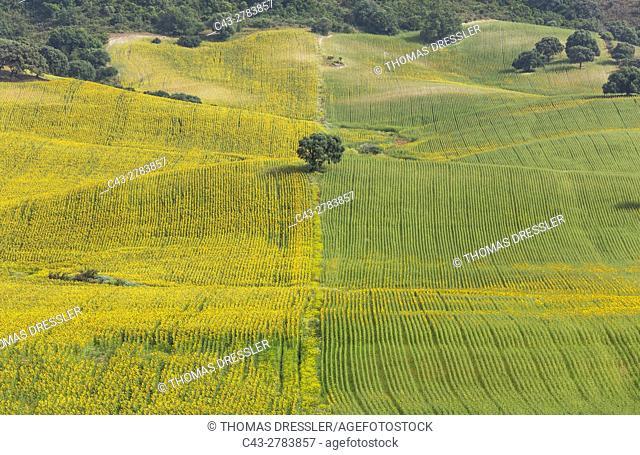Sunflower (Helianthus annuus) - Cultivations near Arcos de la Frontera. In June. The solitary tree is a holm oak (Quercus ilex)