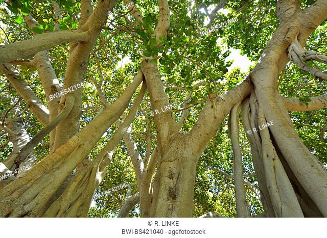 Curtain Fig Tree (Ficus virens), view into the crowns, Australia, Queensland, Bowen