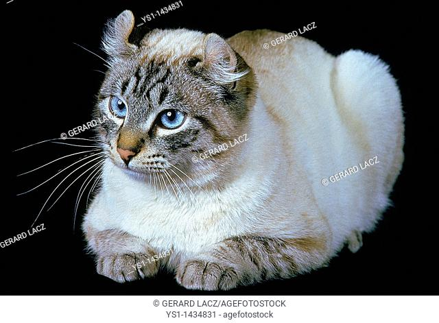 AMERICAN CURL DOMESTIC CAT, ADULT RESTING AGAINST BLACK BACKGROUND