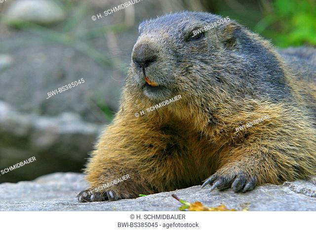 alpine marmot (Marmota marmota), on a stone, portrait, Austria