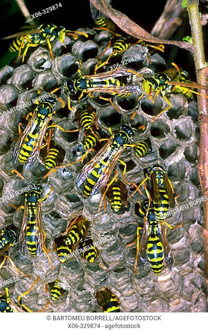 Paper Wasp (Polistes gallicus) Wasp nest