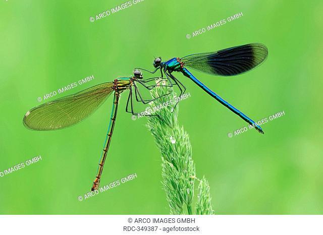 Banded Demoiselle, pair, North Rhine-Westphalia, Germany / Calopteryx splendens, Agrion splendens