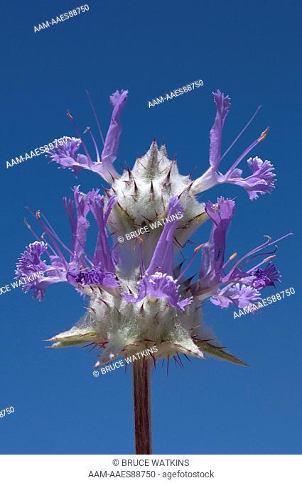 Chia flower (Salvia columbariae) Desert Tortoise Natural Area, Kern County, California, USA, digital capture
