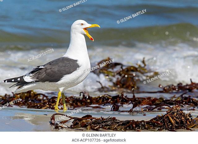 Kelp Gull (Larus dominicanus) along the shoreline in the Falkland Islands