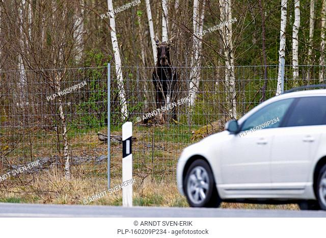 Moose / elk (Alces alces) looking behind protective deer fence at car passing by on road