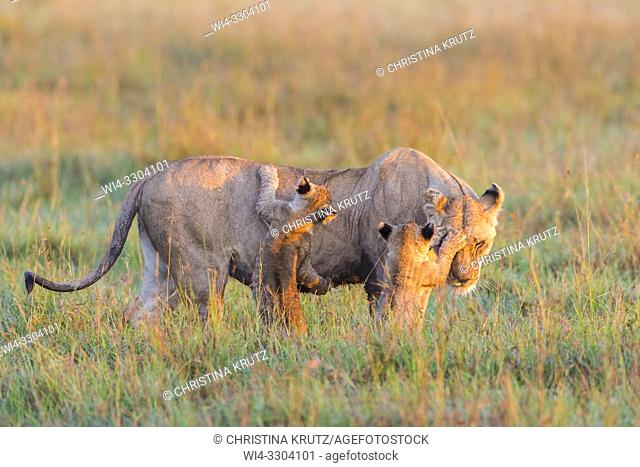 African Lion (Panthera leo) female with two cubs, Maasai Mara National Reserve, Kenya, Africa