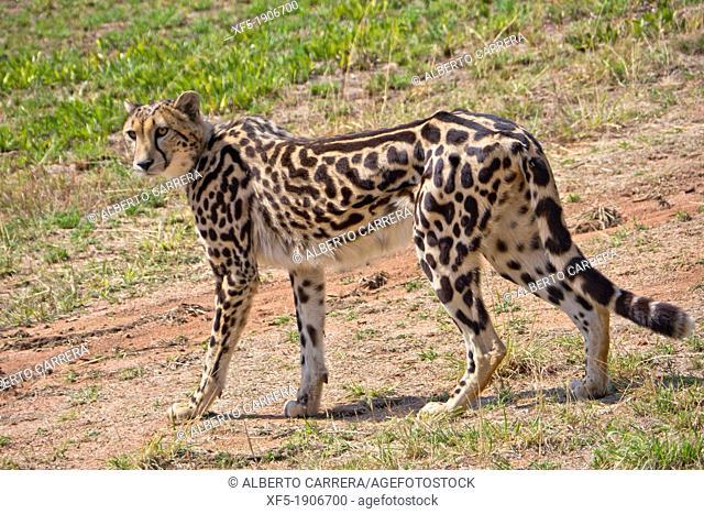 Cheetah, Acinonyx jubatus, Guepard, De Wildt Cheetah Centre, South Africa, Africa