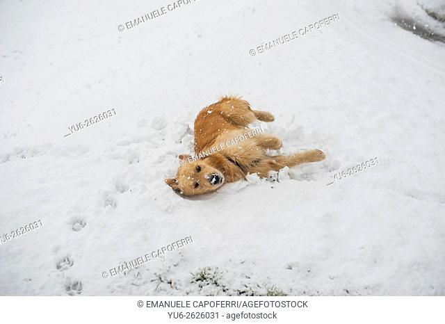 Dog rolls in the snow
