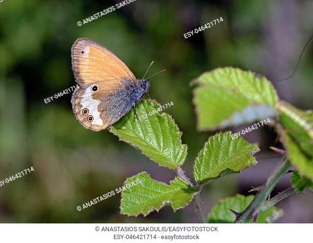 Pearly Heath (Coenonympha arcania), Greece