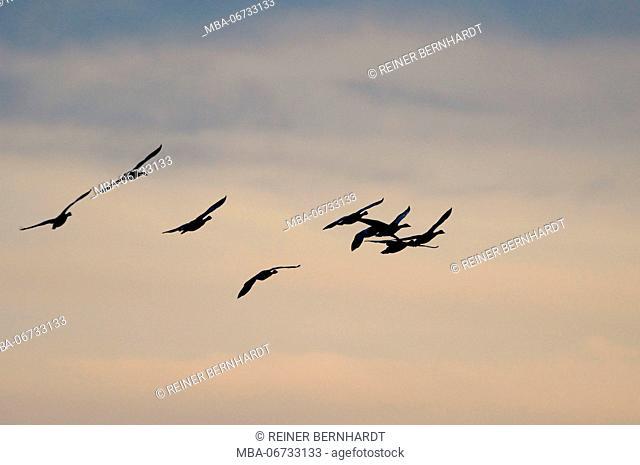 Greylag geese flying, Anser anser