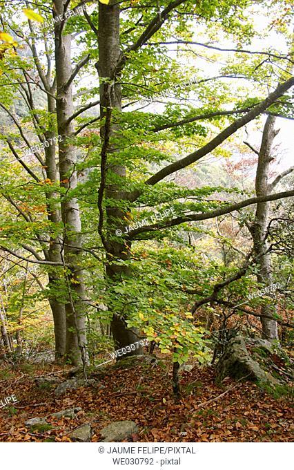 Trees, Montseny. Catalonia, Spain