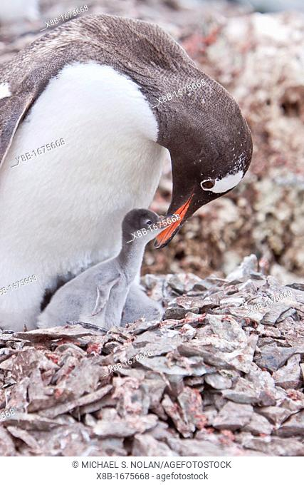 Adult gentoo penguin Pygoscelis papua feeding chick in Antarctica