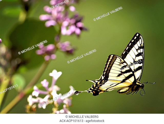 Close up of Swallowtail butterfly, Papilio glaucas, lilac tree Ontario, Canada