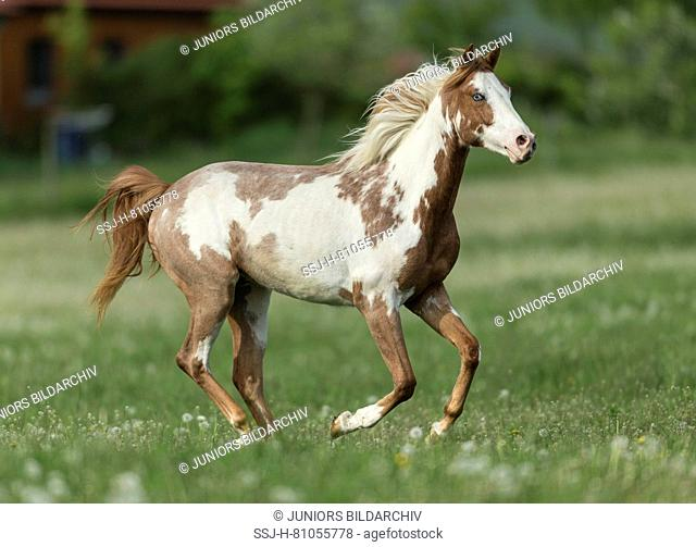 Pintabian. Adult galloping on a pasture in spring. Germany