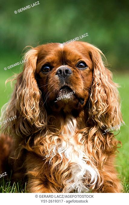 Cavalier King Charles Spaniel, Portrait of Male