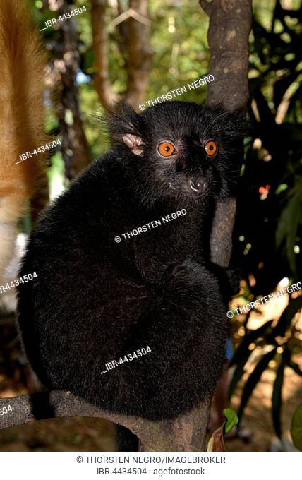 Male black lemur (Eulemur macaco macaco), rainforest, northwest Madagascar