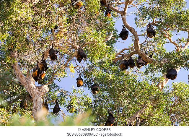 Fruit Bats roosting in Sydney Botanical Garden, Sydney, Australia