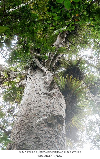 New Zealand, Northland, Kaihu, Trounson Kauri Park, Giant trees in Trounson Kauri Park