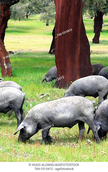 Pigs in Monfrague Natural Park. Caceres province. Extremadura. Spain