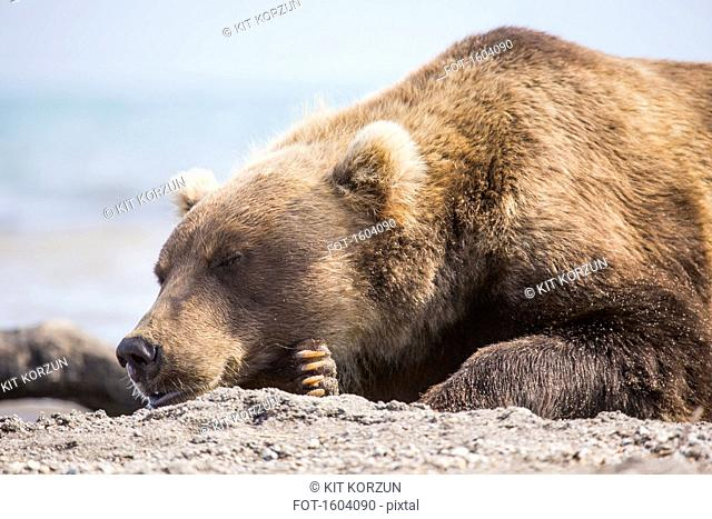 Kamchatka brown bear resting on lakeshore, Kurile Lake, Kamchatka Peninsula, Russia