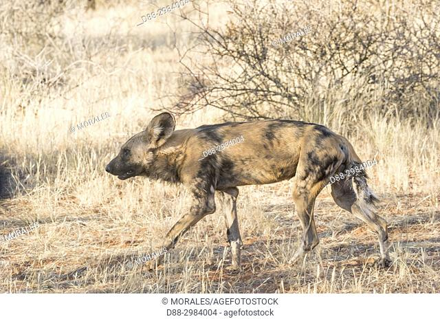 Africa, Southern Africa, South African Republic, Kalahari Desert, African wild dog or African hunting dog or African painted dog (Lycaon pictus), adult