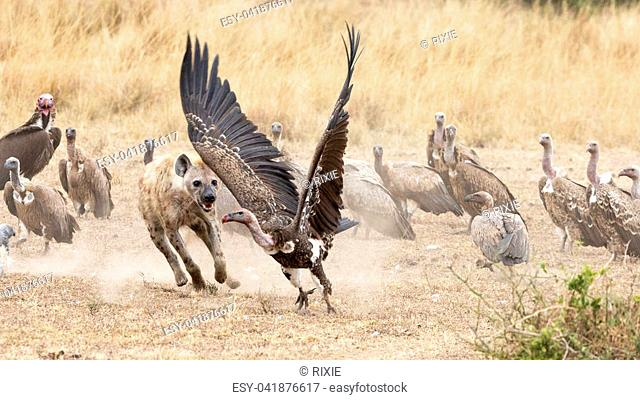 A lone hyena chases vultures away from the remains of a kill. In the Masai Mara, Kenya