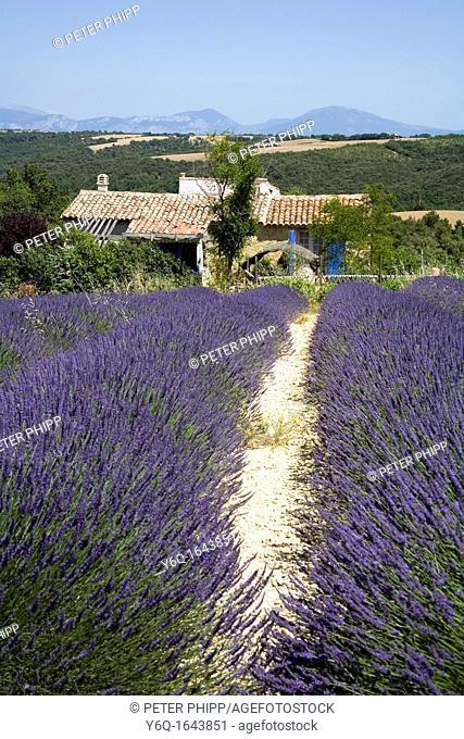 Lavender fields at Plateau du Valansole, Provence France