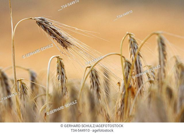 Two-Rowed Barley (Hordeum distichon). Schleswig-Holstein. Germany