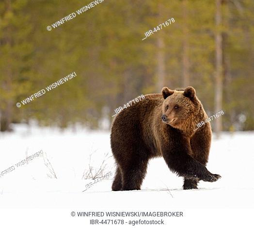 Brown bear (Ursus arctos) in snowy marshland, northeastern Finland, Finland