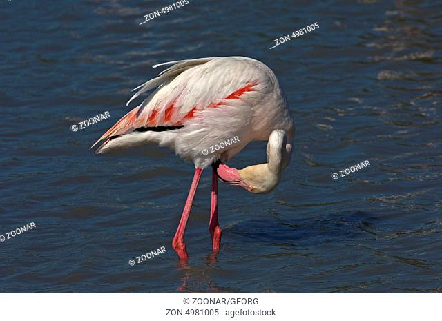 Greater Flamingo pruning its feathers