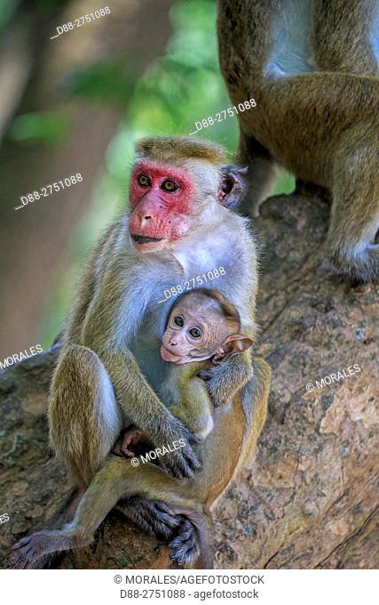 Sri Lanka, Yala national patk, Toque macaque (Macaca sinica), mother and baby