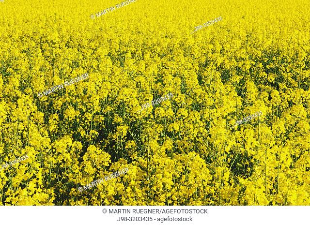 Close up of rape field in blossom. Bavaria, Germany