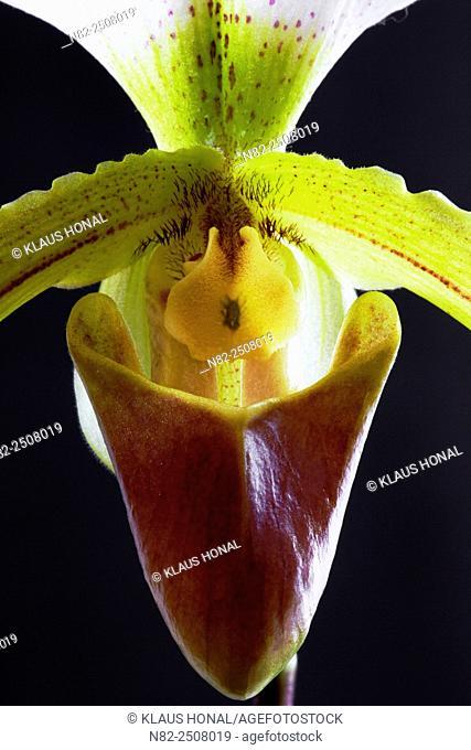 Orchid Paphiopedilum leeanum is a hybrid between Paphiopedilum spicerianum × Paphiopedilum insigne - Germany