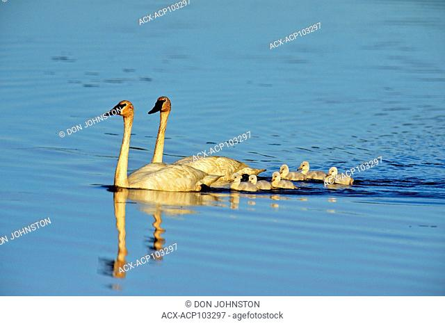 Trumpeter swan (Cygnus buccinator) Adults swimming in pond with young, Seney NWR, Seney, Michigan, USA