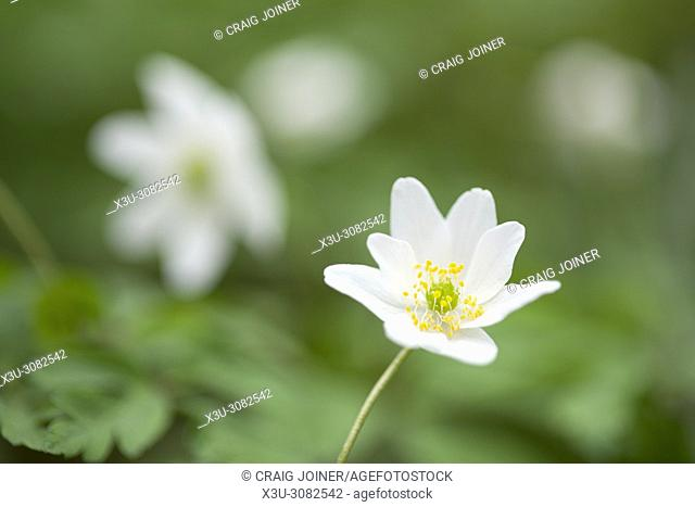Close-up of Wood Anemone flowers (Anemone nemorosa) on a woodland floor